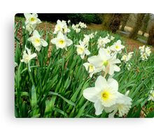 Daffodils..white ones Canvas Print