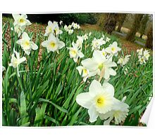 Daffodils..white ones Poster