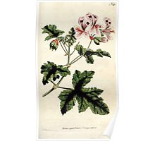 The Botanical magazine, or, Flower garden displayed by William Curtis V3 V4 1790 1791 0151 Pelargonium Glutinosum, Clammy Crane's Bill Poster