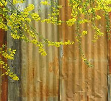 Palo Verde Blossoms against the rusty fence by DAdeSimone