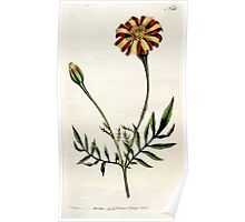 The Botanical magazine, or, Flower garden displayed by William Curtis V5 v6 1792 1793 0013 Tagetes Patula, Spreading Tagetes, French Marigold Poster