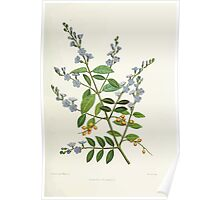 Familiar Flowers of India With Colored Plates, Lena Lowis 0065 Duranta Plumeri Poster