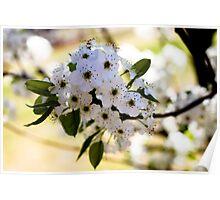Bradford Pear Blossom Poster