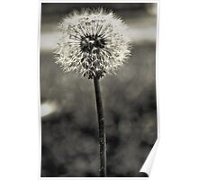 Lonely Dandelion [black & white] Poster
