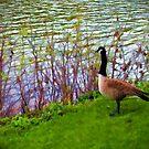 Duck at Shoreline Watercolor by colleen e scott
