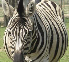 Zebra- Gentry Zoo, Arkansas  by llc2010
