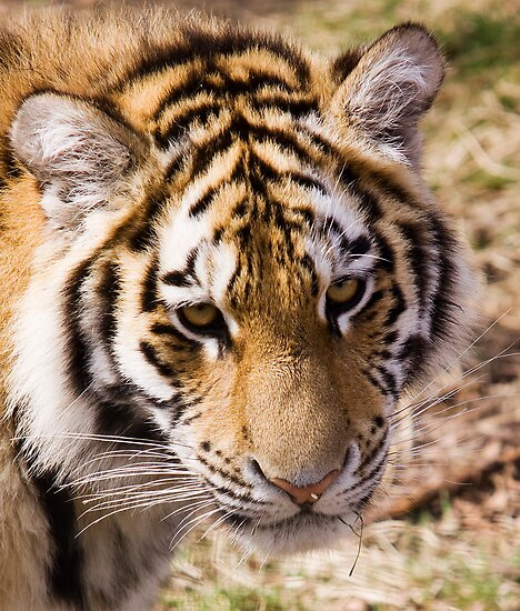 Amur Tiger by Lynne Morris