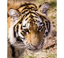 Amur Tiger Photographic Print