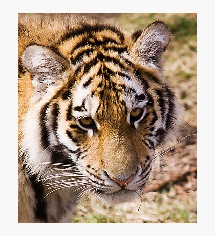 Amur Tiger Photographic Print