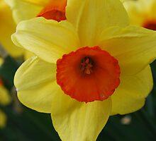 Daffodil Delight by Lozzar Flowers & Art