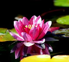 water Lilly by Christina14