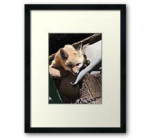 Fox in the Henhouse Framed Print