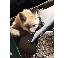 Fox in the Henhouse Photographic Print