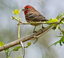 House Finch - Ottawa, Ontario by Michael Cummings