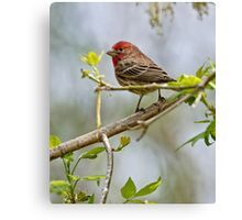 House Finch - Ottawa, Ontario Canvas Print