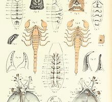 On the Muscular and Endoskeletal Systems of Limulus and Scorpio Sir Edwin Ray Lankester 1883 0090 Anatomy Scorpion by wetdryvac