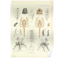 On the Muscular and Endoskeletal Systems of Limulus and Scorpio Sir Edwin Ray Lankester 1883 0090 Anatomy Scorpion Poster