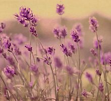 Lavender dreaming ... by Chris Armytage™