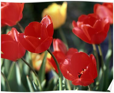 Red Flowers by Phil Campus