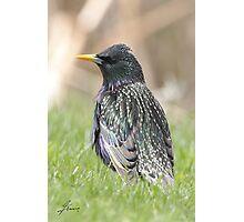 European Starling 04 Photographic Print