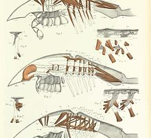 On the Muscular and Endoskeletal Systems of Limulus and Scorpio Sir Edwin Ray Lankester 1883 0034 Anatomy Horseshoe Crab by wetdryvac