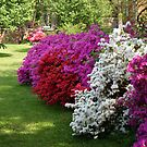 Azaleas......in dazzling colors! by Ruth Lambert