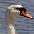 Mute Swan by Dennis Cheeseman