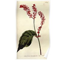 The Botanical magazine, or, Flower garden displayed by William Curtis V5 v6 1792 1793 0145 Polygonum Orientale, Tall Persicaria Poster