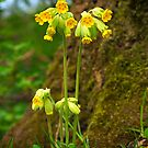 Cowslips Primula Veris by Hugster62