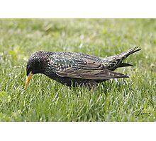European Starling 05 Photographic Print