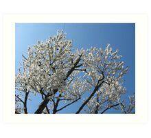 Snow-white blossoms against the blue sky Art Print