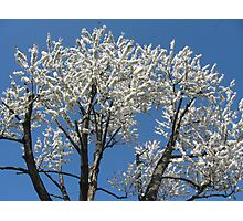 Snow-white blossoms Photographic Print