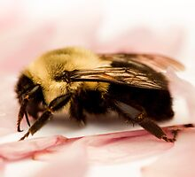 Bumble Bee on Pink Petals by Silverdays