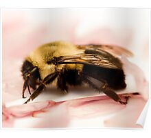 Bumble Bee on Pink Petals Poster