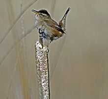 Marsh Wren Sings Out it's Song  by Chuck Gardner