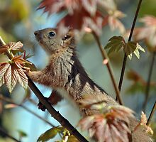 Young Squirrel by André Berger