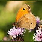Meadow Brown Butterfly (Maniola jurtina) (I) by DonMc