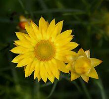 everlasting daisy by Fleur Stelling