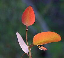 red gum leaves in springtime by Fleur Stelling