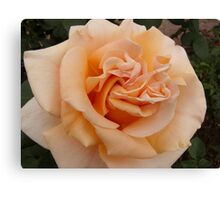 Soft Peach Canvas Print