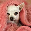 Chilly Chihuahua by Barb Leopold