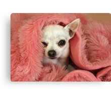 Chilly Chihuahua Canvas Print