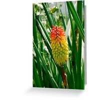 Red Hot Poker Flower Greeting Card
