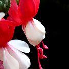 Red & white flower 7396 by João Castro