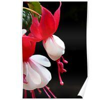 Red & white flower 7396 Poster