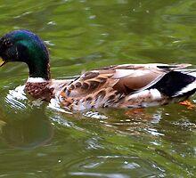 Mallard Duck at Dorset UK by lynn carter