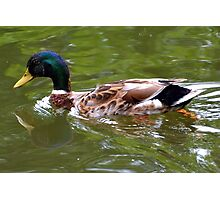 Mallard Duck at Dorset UK Photographic Print