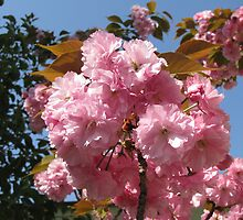 Kwanzan Cherry blossoms by rasim1