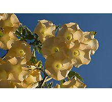 Angel Trumpets in the Sky Photographic Print