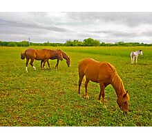 Group of Horses Eating Grass Photographic Print